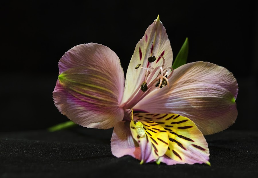 Beauty by Ivan Ivanov - Nature Up Close Flowers - 2011-2013 ( nature, belle, beauty, flower, up, close )