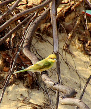 Photo: Year 2 Day 21  -  Woodpecker (we think) in the Sand Dunes
