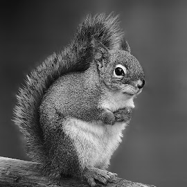 Red squirrel by Gérard CHATENET - Black & White Animals