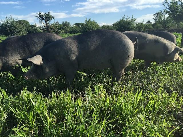 Robles, encinas y alcornoques dieron lugar a un bosque en el que los cerdos se crían a su aire y son alimentados con bellotas..