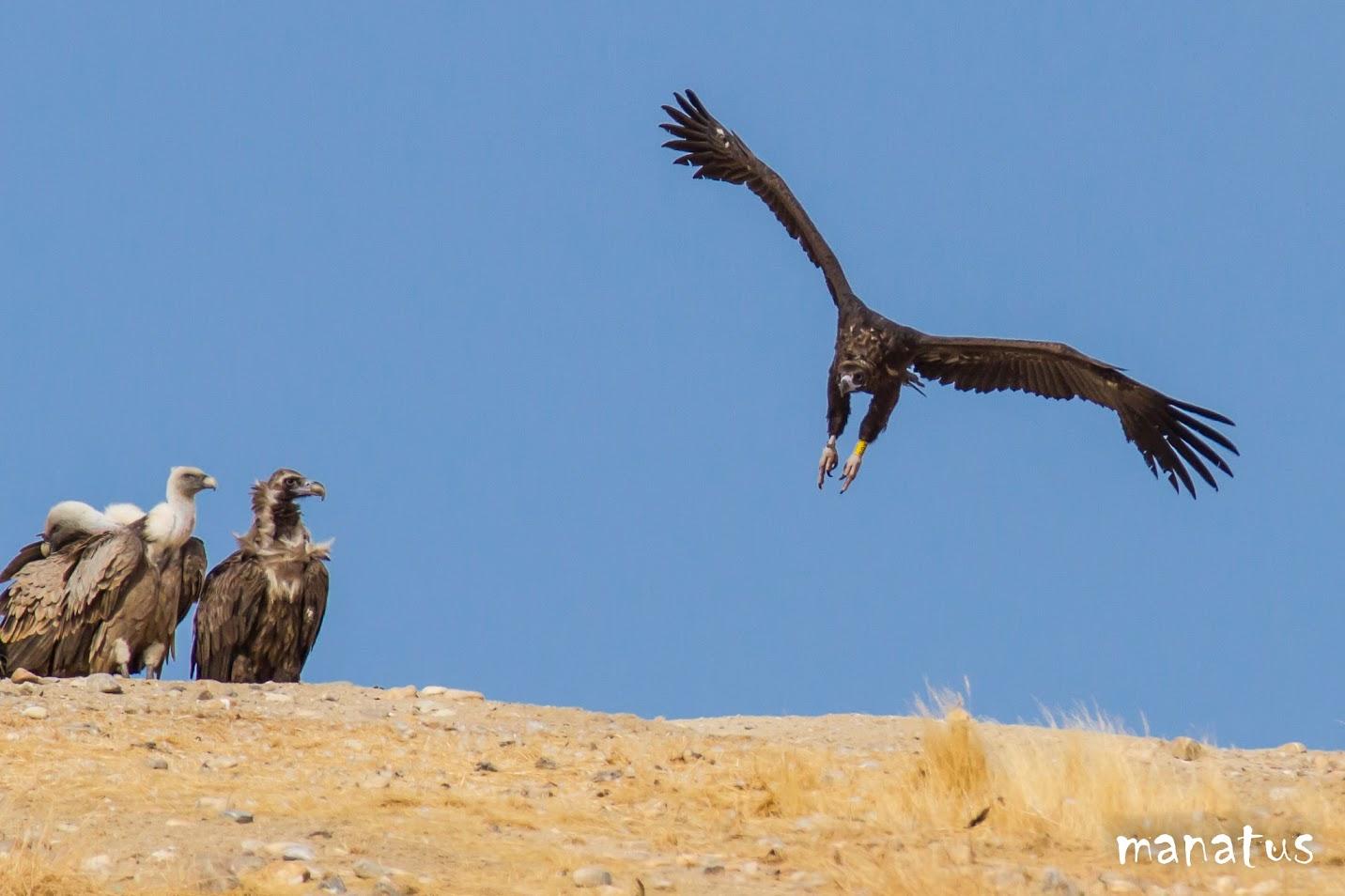 manatus buitre negro aterrizando