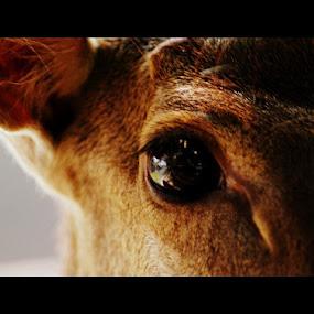 Eye Deer by Nugroho Kristanto - Animals Other ( animal, eye, deer )