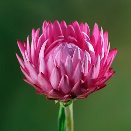 Flower Bud by Jim Downey - Flowers Single Flower
