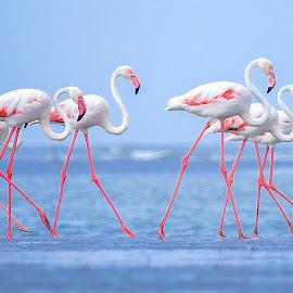 The Group March by Hitesh Parmar - Animals Birds ( bird, nikonasia, flamingos, nikond5100, hp_clicks, nikon )