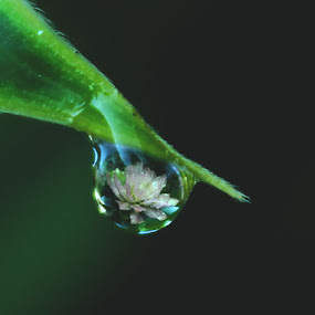 Dewdrop by Melony Mejias - Nature Up Close Water ( water, nature, dew, rain )