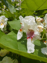 Photo: A beautiful day for all my friends <3  Much love  Catalpa Picture http://en.wikipedia.org/wiki/Catalpa