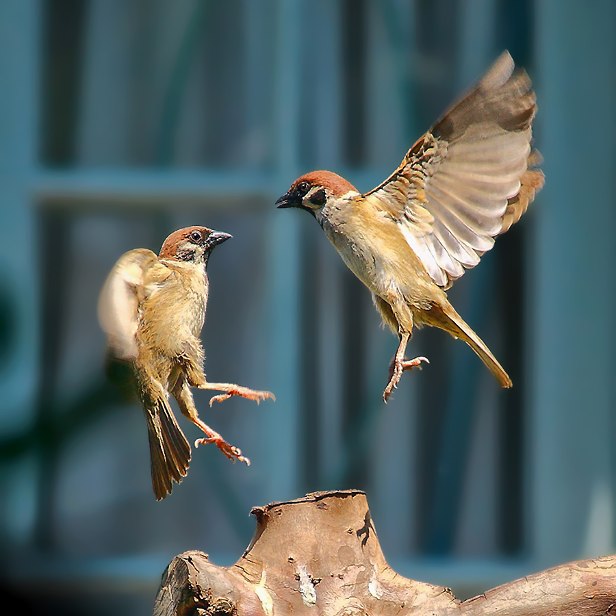 Duel On The Air by Benny K Haruny - Animals Birds