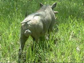 Photo: This warthog carries lots of testosterone; Este macho de facochero carrega muita testosterona.