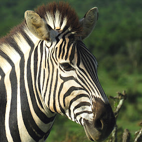Zebra by Lanie Badenhorst - Animals Other (  )