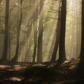 Magic forest by Nicu Buculei - Landscapes Forests ( trees, forest, morning, light, rays, , save the forests worldwide, forests )