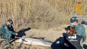 Guardia Civil prestar apoyo a Equinac en el varamiento de un delfín en el río Aguas en Mojácar.