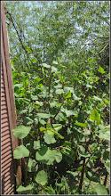 Photo: Iulişca (Fallopia japonica) sau Polygonum Cuspidatum, Polygonum polystachyum - planta invaziva - din Turda, Str. Dr. Gheorghe Marinescu - 2018.04.22
