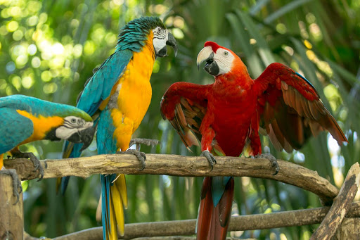macaws-chatting-in-cartagena.jpg - Macaws chattering in the cruise terminal.