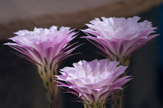 Photo: Drawing of the Three - The three glowing flowers of a small potted cactus rise up about 8 inches above the top.  In the high contrast light of sunny Arizona, the delicate pink flowers glow as they face the sunlight.