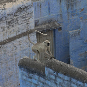 Running Across The Roof Top by Janet Marsh - Animals Other Mammals ( indiapart1, monkey,  )