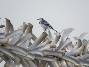 Photo: Pied Wagtail, South Breakwater, Aberdeen Harbour