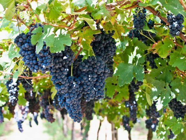 "Картинки по запросу ""виноград оберлин 595"""