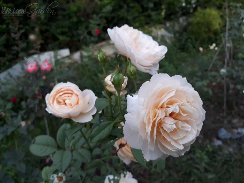 Hồng ngoại Shepherdess Rose, trung bình 30 ngày sẽ cho một đợt hoa mới. Shepherdess Rose nhìn xa trông như màu trắng, nhưng nó là sự pha trộn giữa màu trắng kem và màu vàng nhạt.