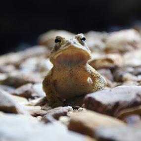 Walls of Jericho Frog by Kevin Sullivan - Animals Amphibians