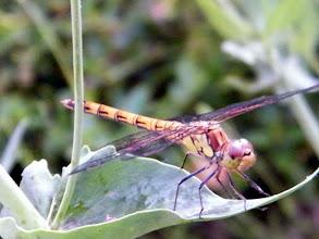 """Photo: """"Sympetrum striolatum"""" femelle posée sur une feuille. Des demoiselles de haute-voltige !"""