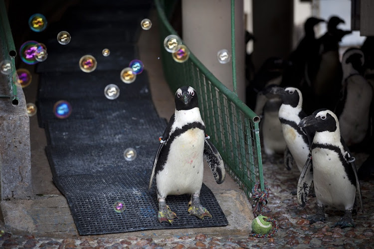 'Bubbles' an African Penguin, plays with bubbles blown by a member of the National Zoo in Pretoria  during an enrichment activity to stimulate the animals. Picture: DANIEL BORN/THE TIMES