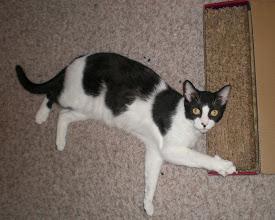 Photo: Horus on the catnip-laced scratcher