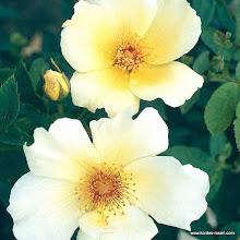 Photo: Historische Rose Golden Wings, Züchter: Shepherd 1956