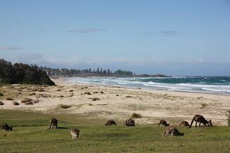 Photo: Year 2 Day 168 -  Kangaroos at Potato Point Caravan Park