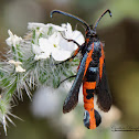 Buckwheat Root Borer Clearwing Moth