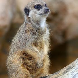 Qui voilà ? by Gérard CHATENET - Animals Other Mammals