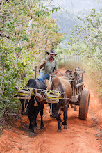Photo: We encountered this farmer while walking through the countryside in Viñales, Cuba. He was on his way to plough his field using the two cattle plus a traditional plough that he guided behind them by hand. A bit later on on we encountered him again while he was ploughing and he offered to let us have a go!  #TransportTuesday, curated by +Gene Bowker, +Joe Paul, +Mike Masin, +Steve Boyko and +Michael Earley