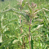 Common nettle, stinging nettle, kopřiva dvoudomá