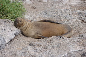 Photo: Sleepy Sea Lion - scratch my belly!