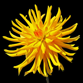Golden Orange by Deleted Deleted - Flowers Single Flower