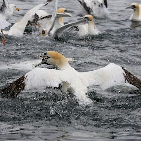gannet fishing by Kate Russell - Animals Birds ( bird, water, seascape, fishing, feathers )