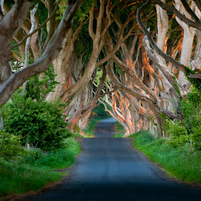 by Anna Stephens - Landscapes Forests ( northern ireland, dark hedges, county antrim )