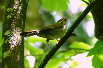 Photo: Bewick's Wren http://www.allaboutbirds.org/guide/bewicks_wren/id