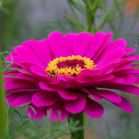 Zinnia by Michael Velardo - Flowers Single Flower ( fuschia colored flower, flora, narure, zinnia, flower,  )