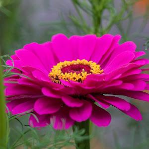 zinnia_flower_IMG_8156.jpg