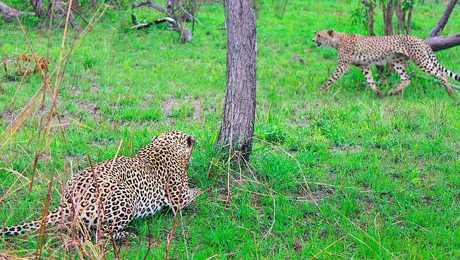 WATCH | Power vs speed: cheetah walks right into leopard in Kruger