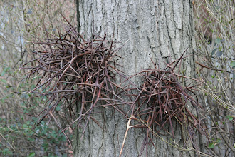 Photo: Weird thorns of some kind on a tree by the Brooklyn Heights Promenade.