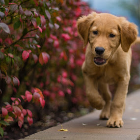 by Caitlin Lisa - Animals - Dogs Puppies ( fall, puppy, dog, running, golden retriever )
