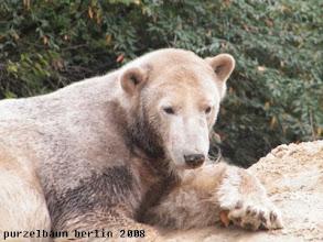 Photo: Marmoreisbaerchen Knut mit Sandnase ;-)