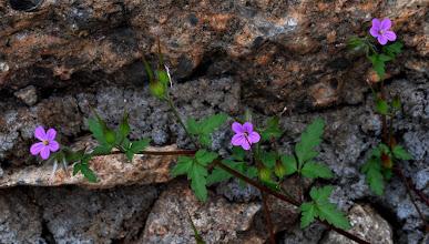 Photo: Geranium lucidum L. (Geraniaceae)