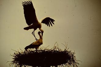 Photo: Paringsdans van de ooievaar.