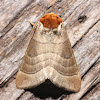 Walnut Caterpillar Moth - 7907