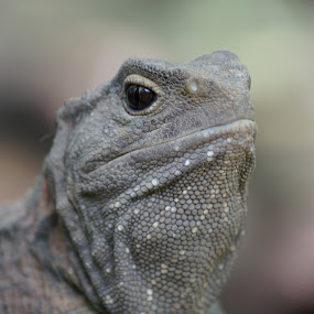 Tuatara by Aram Becker - Animals Reptiles ( tuatara, gray, reptile, close-up, new zealand )