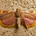 Golden triangle moth