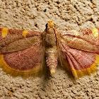 Golden triangle moth