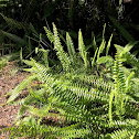 Asian swordfern